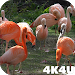 4K Flamingo Video Live Wallpaper